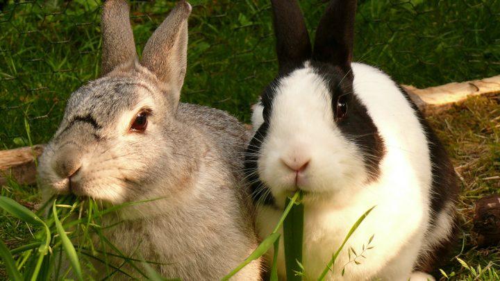 Twee konijn in één hok, kan dat?