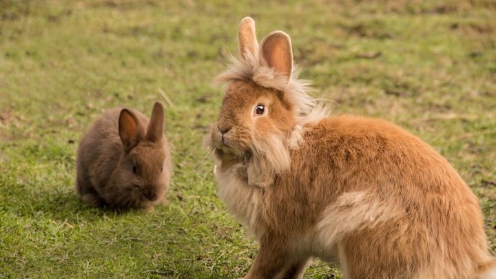 Clickertraining met konijnen