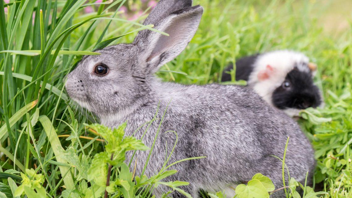 Kan een konijn samen met een cavia?