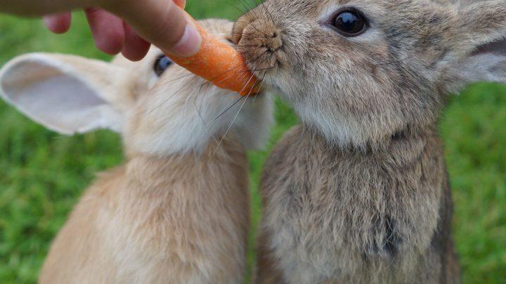 Wat eet een konijn?